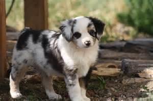 Cute Mini Aussie Puppies