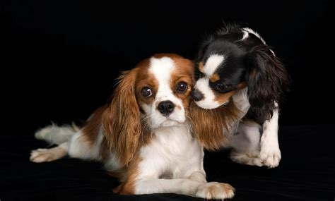 Cavalier King Charles Spaniel Wallpapers Backgrounds