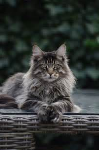 17 best ideas about maine coon cats on maine coon maine coon kittens and kittens
