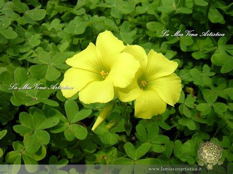 fiori di trifoglio fiori