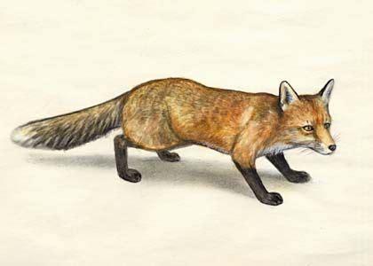 rudā lapsa - Vulpes vulpes (L.) - Zīdītāji - Latvijas daba