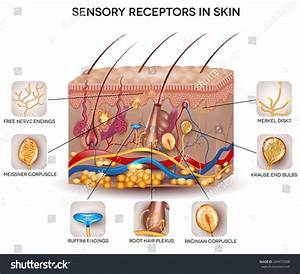 Sensory Receptors Skin Detailed Skin Anatomy Stock Vector ...