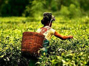 Four Best Tea Plantation States in India - Nativeplanet
