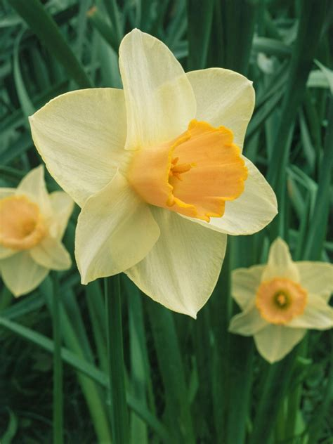 pruning daffodils the right way hgtv