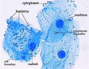 Cheek Cell Labeled Diagram   www.pixshark.com - Images ...