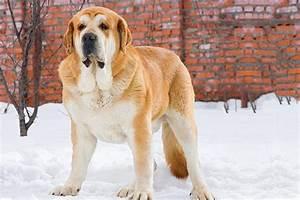 Spanish Mastiff Dog Breed Information American Kennel Club