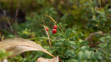images nature grass meadow berry sweet leaf