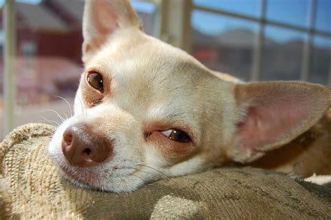 Lo Ng To Adopt A Chihuahua In New York Dogwalker Com