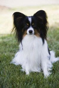 dog breeds that don t shed toy dog breeds that don t