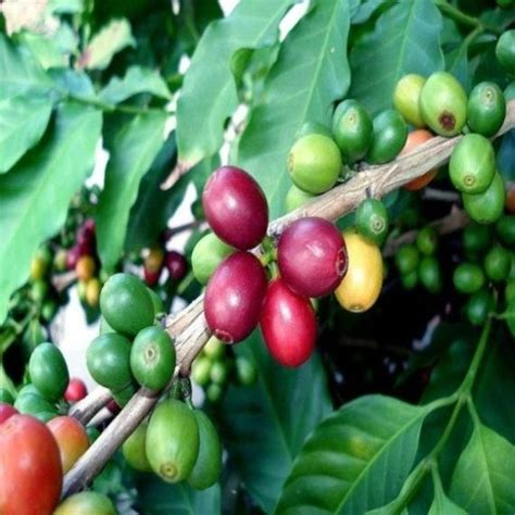 Alternatively, buy samples if you choose. Buy Arabica Coffee Plants Online   Garden Goods Direct