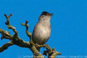 Heimische Singvögel Bilder : singv gel bestimmen heimische singv gel alter bilder ~ Whattoseeinmadrid.com Haus und Dekorationen