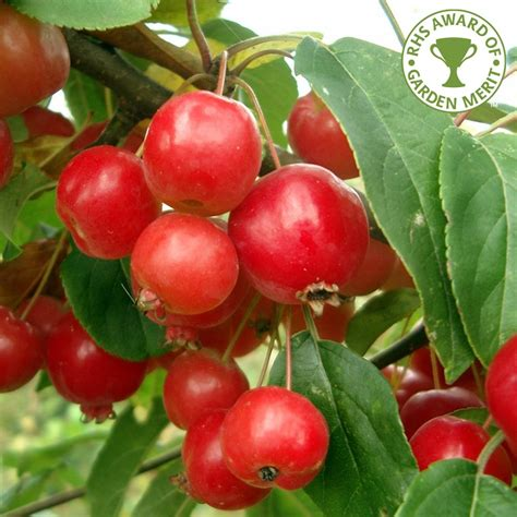 crab apples trees malus robusta red sentinel buy flowering crab apple trees