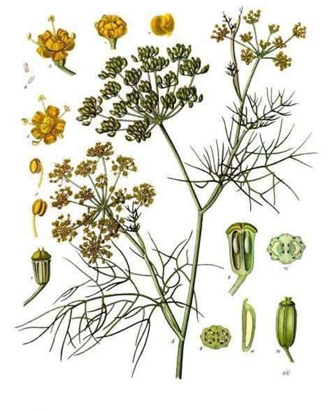 famille cuisine foeniculum wikipédia