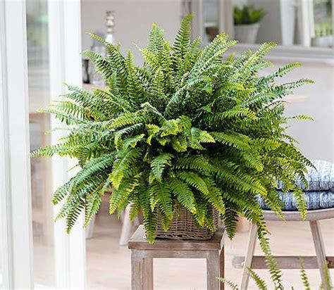 felce da vaso consigli utili per coltivare la felce terra nuova