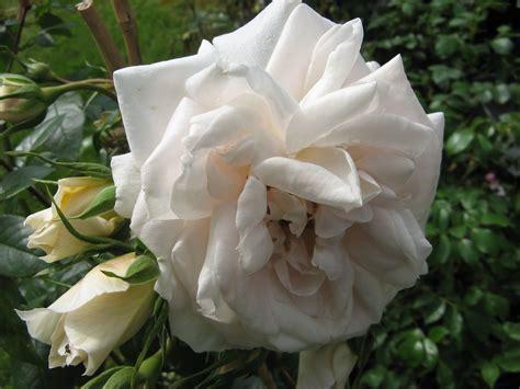 lion blumen lions rose rosenwelt world of roses pinterest