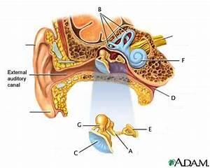 Anatomy  U0026 Physiology 00  U0026gt  Dingle  U0026gt  Flashcards  U0026gt  Eye  U0026 Ear