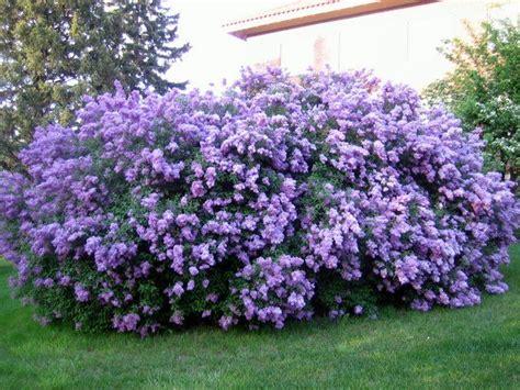 Best 25+ Lilac Bushes Ideas On Pinterest  Prune Lilac