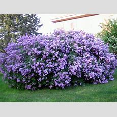 Best 25+ Lilac Bushes Ideas On Pinterest  Prune Lilac