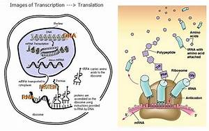 Summary Of Transcription  Translation Ond Transcription Factors