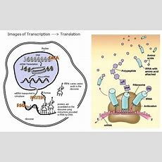 Summary Of Transcription, Translation Ond Transcription Factors  Leaders In Pharmaceutical