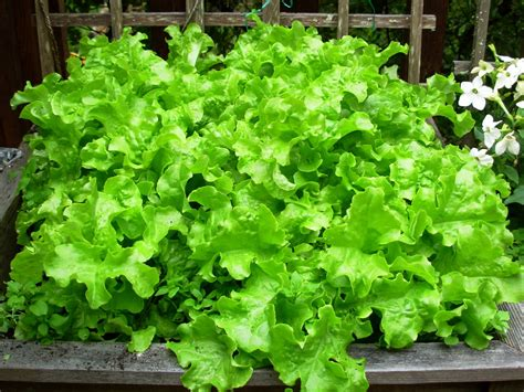 how to grow a garden how to grow lettuce outside the garden of eaden