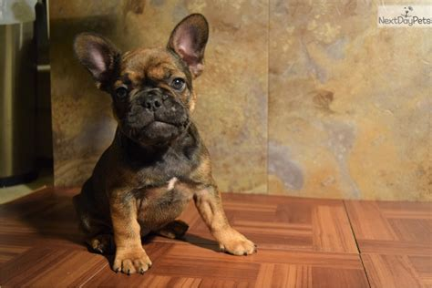 red sable french bulldog puppy  sale  detroit