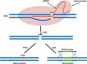 Crispr  Cas9 For Overcoming Drug Resistance In Solid Tumors