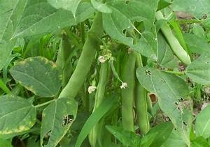 Kidney Beans Farming  Rajma  Detailed Guide
