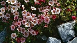 Blumen Für Steingarten : pflanzen f r steingarten 7 pflegeleichte vorschl ge garten gartenarbeit zenideen ~ Sanjose-hotels-ca.com Haus und Dekorationen