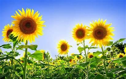 Sunflower Ukraine Flower National Flowers Sunflowers Field