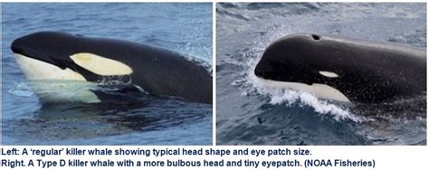 Researchers Say 'type D Killer Whale' May Be New Species