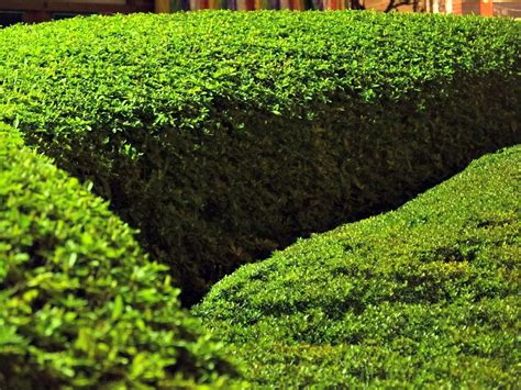 when to prune boxwood when to prune five plants and their best pruning tips eagleson landscape co
