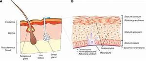 1 Structure Of The Human Skin   A  The Subcutaneous Layer