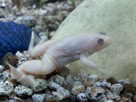 le tour de l aquariophilie grenouille albinos album de tintinmemelle