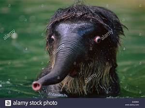 Baby Indian elephant in water looking shocked {Elephas ...