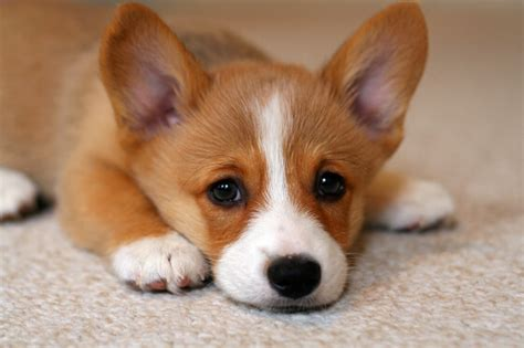 top 10 puppies adopt me faces of 2013 petfinder 5 reasons why corgi puppies are the best and 25 pictures