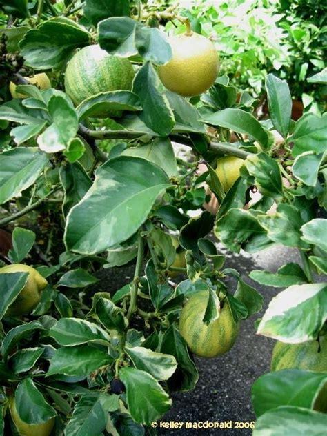 plantfiles pictures citrus lemon variegated lemon pink