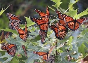 200 Million Monarch Buffterflies Are Headed For Arkansas