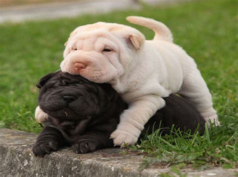 do miniature shar pei shed dogs puppies akc poodle puppy chocolate wallpaper
