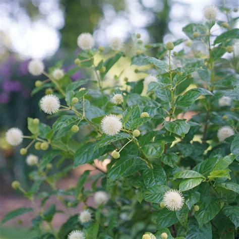 Buttonbush - Cephalanthus 'Sugar Shack' Proven Winners ...