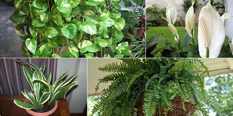 kesehatan  jenis tanaman pembersih udara   rumah