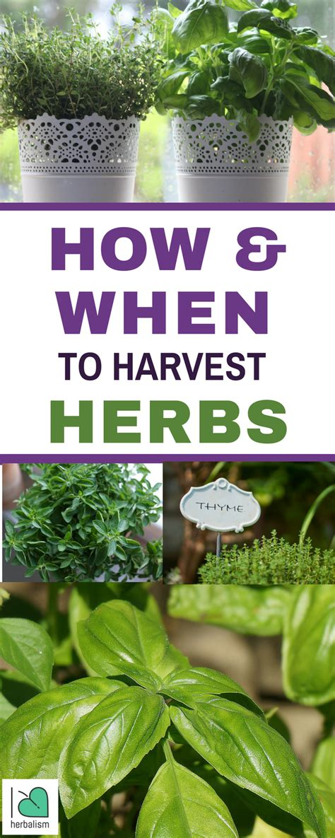 how to harvest herbs how when to harvest herbs i love herbalism
