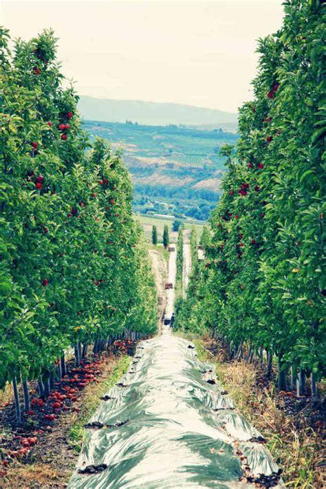 orchards washington yakima apples state valley yvo harvest envy packing