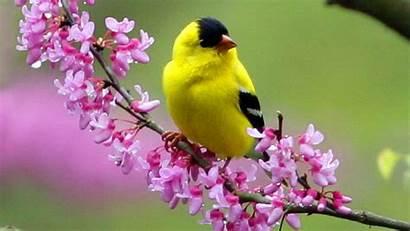 Spring Bird Desktop Birds Yellow Wallpapersafari