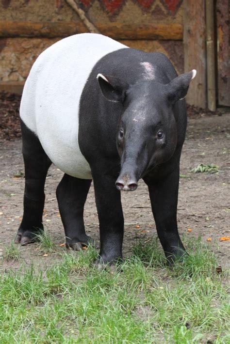 indah  malayan tapir