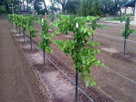 scotts  year  grape vine pictures  grape
