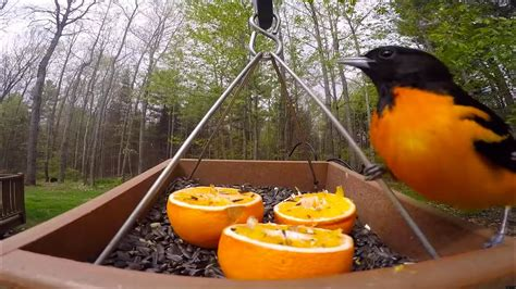 bird feeder gopro baltimore orioles youtube