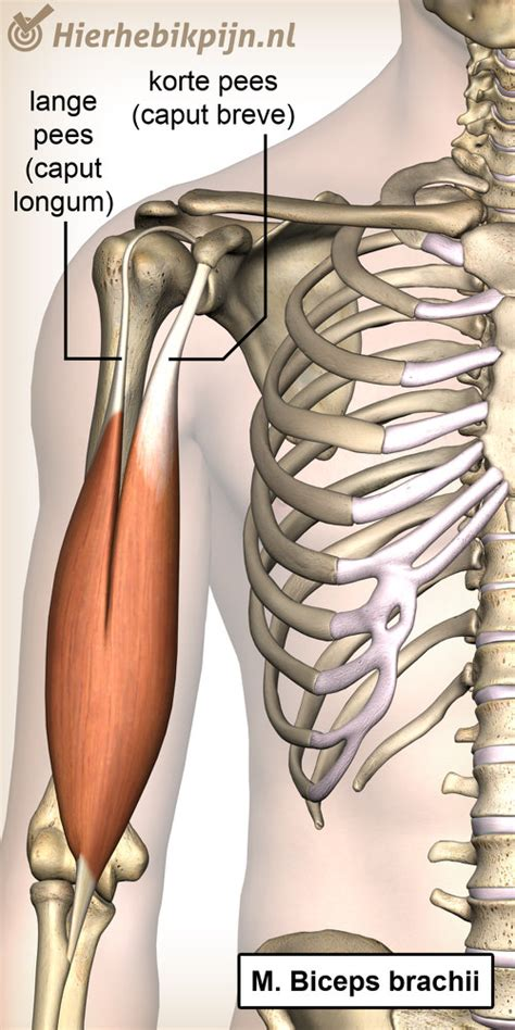 Aanhechting spieren pijn