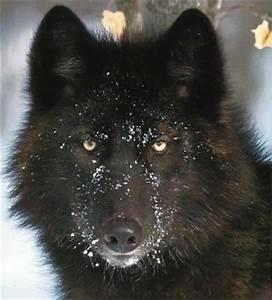 101 best Wolfdog education images on Pinterest   Wolf dogs ...
