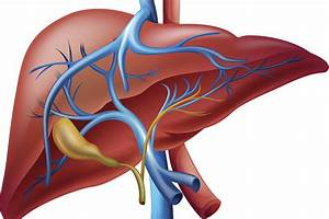 What Does The Liver Do For The Body